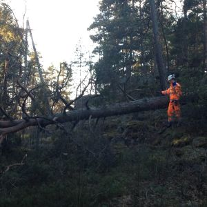 Elmontör Antti Niemi granskar stormskador i Impivaara. En stor tall har dragit med sig hela linjen på ett 300 meters område kring Auroravägen.