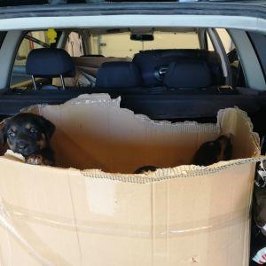 salakuljetettuja koiranpentuja