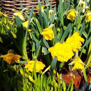 Utslagna påskliljor i solen.