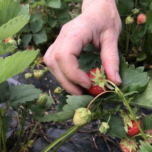 Mansikka kasvaa mansikkamaalla