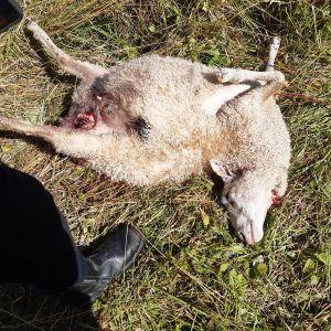 Kuollut valkoinen lammas makaa pellolla.