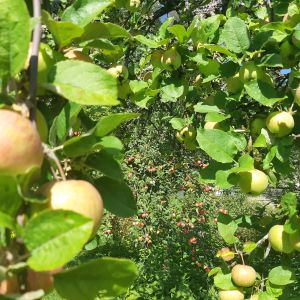 Omenia omenapuissa