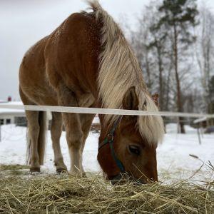 Ruskea suomenhevonen syö heinää aitauksessa - lunta maassa