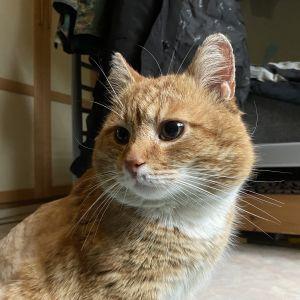 Oranssi, valkorintainen kissa läheltä kuvattuna. Katsoo viistosti vasempaan.