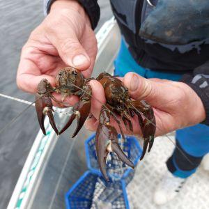 två signalkräftor som en fiskare håller i i sin hand medan han står i en fiskebåt i vattnet