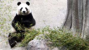 Panda på Etseri djurpark.