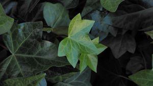 Vihreitä kasvin lehtiä, pari on muita kirkkaampia;: pieni ja iso lehti