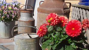 Blommor och gamla mjölkhinkar.