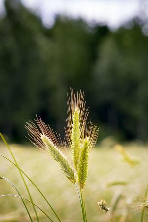 ruis kasvaa pellolla