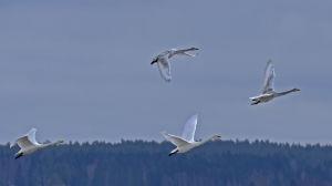 Svanar flyger över Söderfjärden.