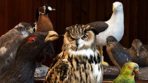 Lintuja Luonnontieteellisen keskusmuseon kokoelmissa