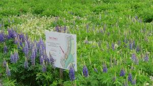 En obebyggd tomt med högt gräs och mycket lupiner. En skylt visar att det är fråga om tomt 2 på Västersvängen i Ingå.