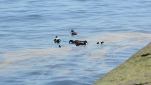 Havsklippor i soligt väder, ejdrar simmar i havet.