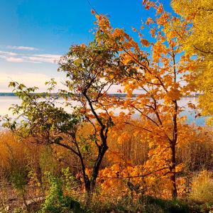 Träd i höstskrud vid vatten i Sandviken i Vasa. Löven är gula, orangea