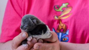 Små kattungar kupade i handen.
