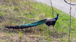 Påfågeltupp går i gräset.