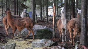 En grupp lamadjur bland stenar och tallar.