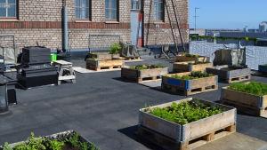 Odlingslådor med växter på Kabelfabrikens tak.