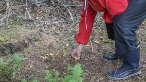 Lena Puranen plockar svamp i skogen