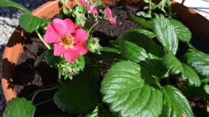 Klarrosa blomma på smulgubbeplanta