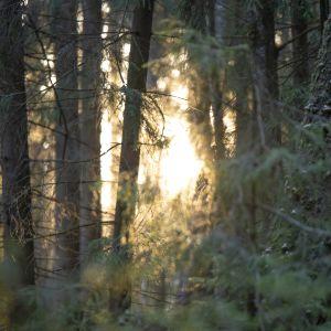 metsä aamuauringossa