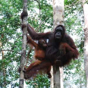 De utrotningshotade orangutangerna har lidit svårt av skövlingen av regnskogarna. Orangutangerna lever enbart på öarna Borneo och Sumatra som i allt högre grad nu täcks av oljepalmplantager.