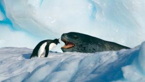 Pingviini ja merileopardi näyttävät huutavan toisilleen lumisessa maisemassa.