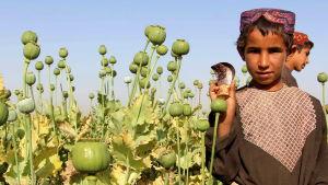 Barn samlar in opium på vallmofält i Afghanistan.