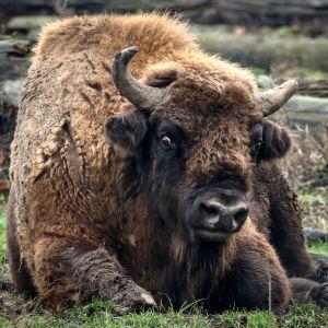 En bisonoxe som vilar sig i en hjortpark i Tyskland