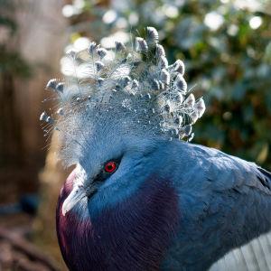 Sinivioletti pulun sukuinen lintu jolla suuri töyhtö päässään