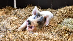 En gris som ligger.