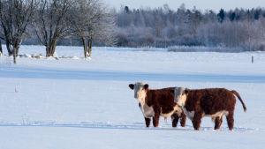 Kor ute på vinteräng.