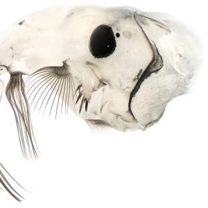 Chaoborus posio -sulkahyttysen toukan pää sivulta kuvattuna.