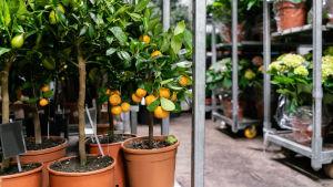 Citrusträd i blombutik