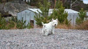Hunden Nappi vänder huvudet mot kameran medan den är på väg längs med grusvägen mot båthamnen i Baggö Marina.