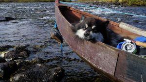 Äijä-koira nukkuu veneessä.