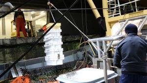 Fångsten vinschas i land där den processas för att säljas till fiskhandlare.
