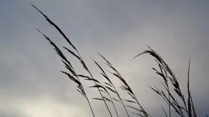 Strandgräs.