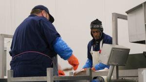 Två arbetare sorterar fisk vid ett löpande band,