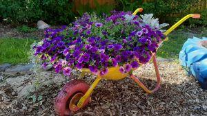 Skottkärra med blommor i.