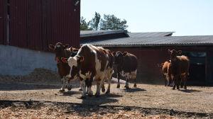 Kor traksar ut från ladugård.