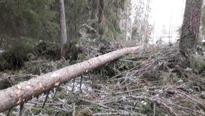 Vasa stad skogshuggare reder upp vindfällen i Sunnanvik.