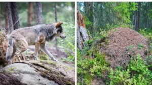En varg och en myrstack bredvid varandra.