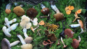 Sieniä sammaleen päällä korissa.