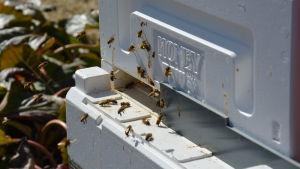 Bin flyger vid bikupa.