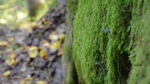 Mossa på sten i Kimito