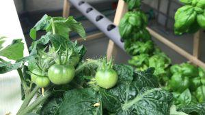 Små gröna tomater och basilika.
