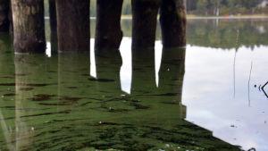 Blågröna alger som har ansamlats i ett tunt skikt på ytan vid en strand under en träbrygga.