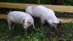 Två griskultingar i gräset.
