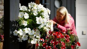 Kaisa rensar vissnade petunior, sitter bakom de stora blommorna